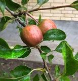 Härliga äpplen i morgonen royaltyfria foton