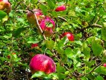 Härliga äpplen i trädet arkivfoton
