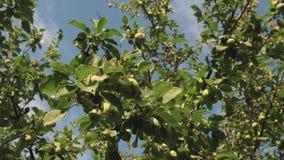 Härliga äpplen mognar på ett träd i strålarna av solen Gröna äpplen på filialen Organisk frukt _ stock video