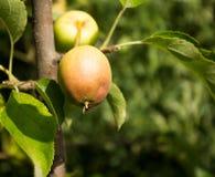 Härliga äpplen på en filial Royaltyfri Bild