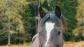 Härliga ögon av den svartvita hästen som betar på en ängblick på kameran stock video