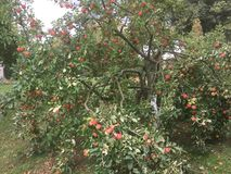Härliga överflödande röda äpplen av september royaltyfri bild