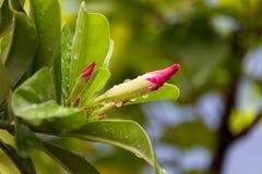 Härliga Adeniumobesumknoppar Det ska blomma, finns det droppar av vatten på blommorna och sidorna efter regn i trädgården, hori royaltyfria foton