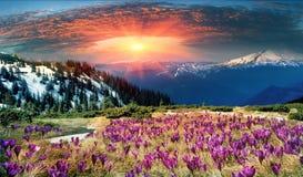 Härliga alpina blommor Arkivfoton