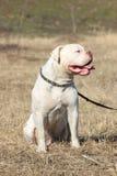 Härliga amerikanska bulldoggar Arkivfoto
