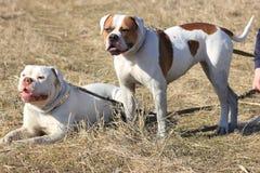 Härliga amerikanska bulldoggar Royaltyfria Bilder