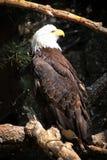 Härliga amerikanska skalliga Eagle i Colorado arkivbild