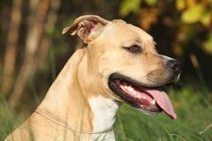Härliga amerikanska Staffordshire Terrier Royaltyfri Bild