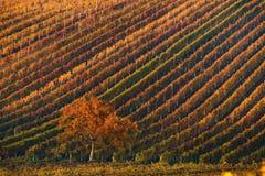 Härliga Autumn Landscape With Multi-Colored Lines av vingårdar/vinrankor och trädet med orange lövverk i morgonsol 22 mot bakgrun Royaltyfri Fotografi