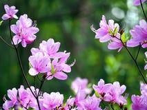 Härliga azalearosa färgblommor Royaltyfri Fotografi