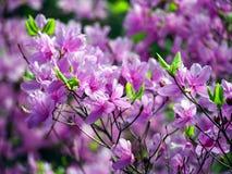 Härliga azalearosa färgblommor Fotografering för Bildbyråer