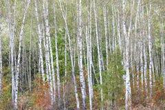 Härliga björkar i skog i höst royaltyfri foto