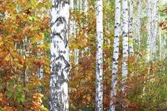 Härliga björkar i skog i höst royaltyfri bild