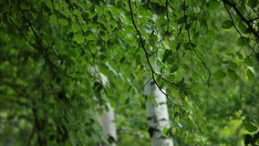 Härliga björkträd i en suddig bakgrund för sommarskog