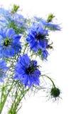 härliga blåa blommor Arkivfoton