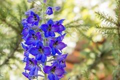 Härliga blåa blommor av en riddarsporrenärbild Arkivbild