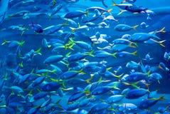 härliga blåa fiskar för akvarium arkivbilder