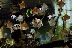 härliga blåa fiskar för akvarium Royaltyfri Fotografi