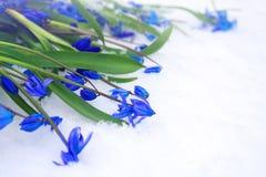 Härliga blåa snödroppar på snö Royaltyfria Foton
