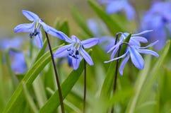 härliga blåa snowdrops royaltyfri fotografi