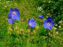 Härliga blåa vildblommor Fotografering för Bildbyråer