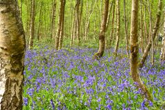 Härliga blåklockaträn Royaltyfri Bild