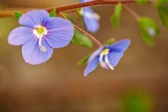 Härliga blått blommar medicinsk veronica utomhus royaltyfria bilder