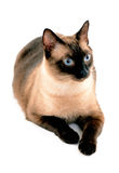 Blått synar katten Royaltyfria Foton