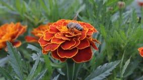 Härliga Blackbringer som blommar i vår och svänger på vinden stock video