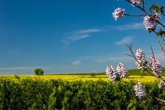 Härliga blomma blommor av Paulowniaväxten på blå himmel Arkivfoto