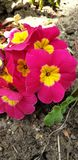 Härliga blommabuketter i rosa och gult fotografering för bildbyråer