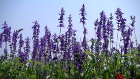 Härliga blommande lavendelblommor arkivfilmer