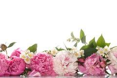 Härliga blommande pioner arkivbild