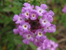 Härliga blommande purpurfärgade blommor, Israel Fotografering för Bildbyråer
