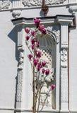 Härliga blommande purpurfärgade blommor på en buske mot den vita väggen i Istanbul, Turkiet royaltyfri bild