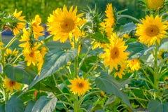 Härliga blommande solrosor på en solig dag för sommar arkivbilder