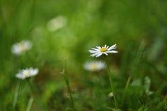 Härliga blommande tusenskönor i våräng suddighet abstrakt bakgrund Vår Gammal lins för foto Fotografering för Bildbyråer