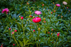 Härliga blommapioner för blom Arkivbilder