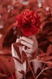Härliga blommapioner i kvinnliga händer Grupp av att bo korallpioner royaltyfri foto