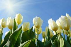 Härliga blommatulpan mot himlen på en solig dag Arkivfoto
