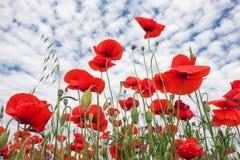 Härliga blommavallmo mot den molniga himlen Arkivbilder