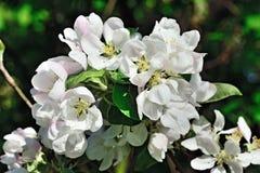 Härliga blommor av äpplecloseupen arkivfoton