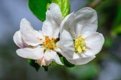 härliga blommor av äpplet Royaltyfri Fotografi