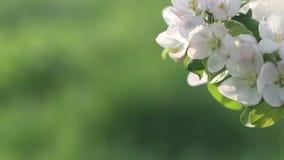 Härliga blommor av fruktträdet som blommar på våren Fantastisk magi av naturregenerering på våren arkivfilmer
