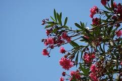 Härliga blommor av magnolian mot den blåa himlen arkivbilder