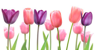 Härliga blommor av purpurfärgade och rosa tulpan Royaltyfri Foto