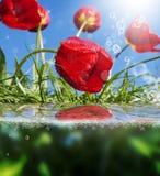 Härliga blommor card röda tulpan arkivbild