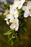 härliga blommor för äpple arkivfoto
