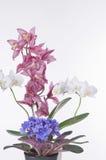 härliga blommor för bakgrund över vita krukar Royaltyfria Foton