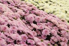 Härliga blommor för bakgrund för maskros rosa och vita, blommar i trädgården fotografering för bildbyråer